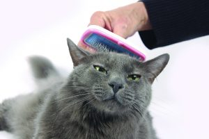 Beautiful mostly Russian blue cat loves being brushed